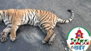 पर्सामा गाडीको ठक्करले बाघको मृत्यु, यसको असर किन ठूलो छ?