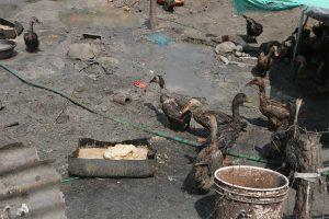 ललितपुरको नख्खुमा बर्ड फ्लु देखियो, १५ सय पन्छी नष्ट